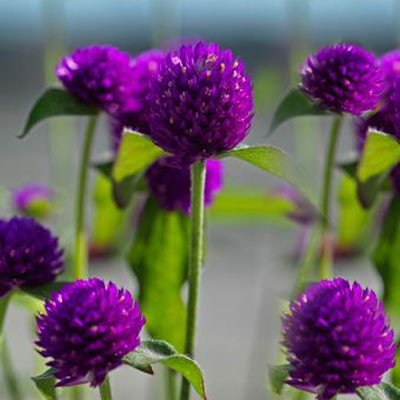 Gomphrena Ping Pong Purple