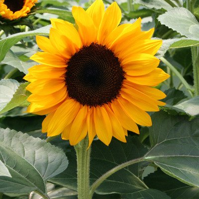 Sunflower Pro Cut Orange