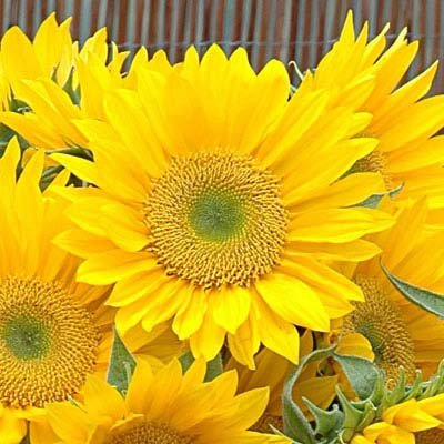 Sunflower Sunrich Gold