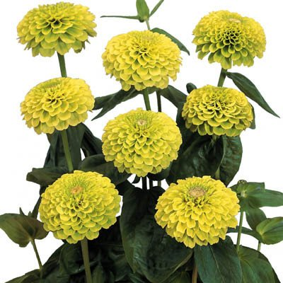 Zinnia, Benary's Giant Lime
