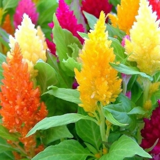 Celosia Forest Fire
