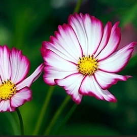 Cosmos Sensation Candy Stripe