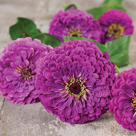 Zinnia, Purple Prince