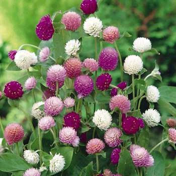 Gomphrena, Tall Mix