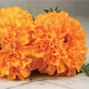 Marigold, Golden Age