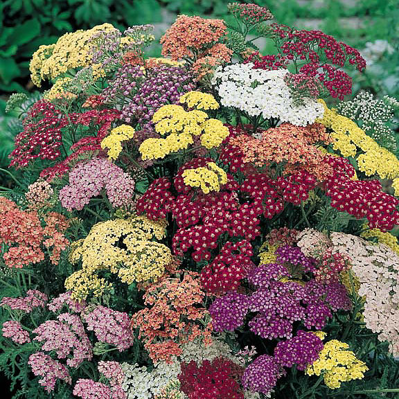 Yarrow, Summer Pastels