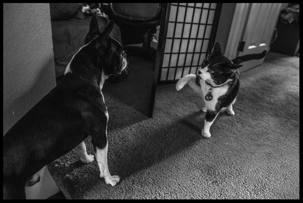 Cat lifting its paw to swat at small dog, black and white, Aurora, Colorado