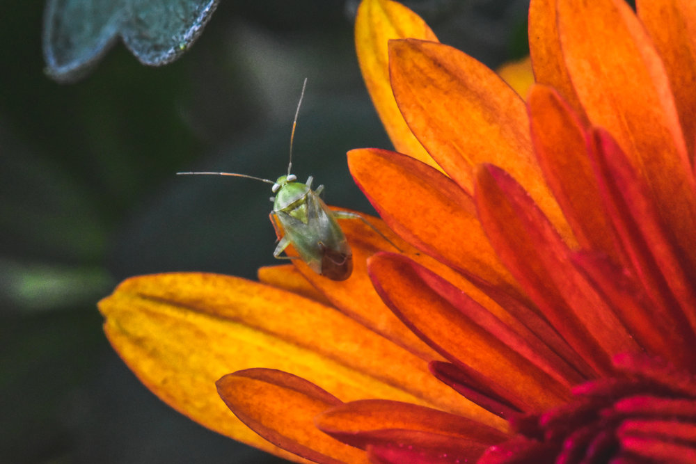 Green bug on an orange flower