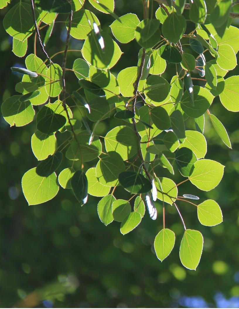 Aspen Leaf.png
