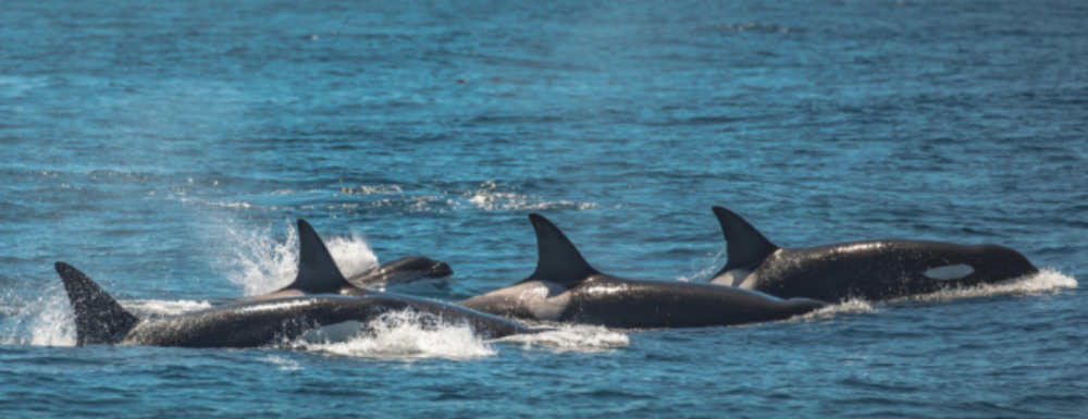 Orcas (also known as killer whales) often live in social groups called transient pods which can often have 1 to 7 members. These groups tend to be more aggressive and travel in more wolf like packs working together to hunt larger mammals. Whose is your pod?