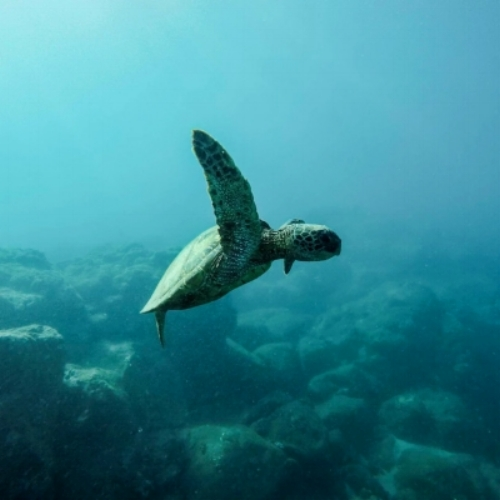 Sea turtles have been around since dinosaurs walked the earth! They live in almost every ocean basin across the world, sometimes migrating up to thousands of miles just to feed. Specifically loggerhead sea turtles nest in Japan, and then travel all the way to Baja California Sur, Mexico just to feed.