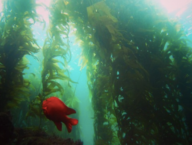 Did you know that Giant Sea Kelp (Macrocystis pyrifera) is one of the fastest growing organisms on the planet? It can grow up to 2ft (60cm) per day and up to 150ft long!