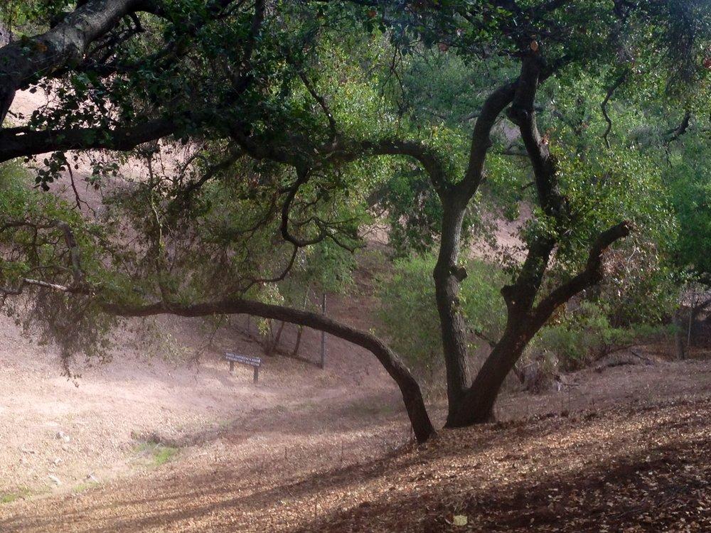 Oak in Ojai.jpg
