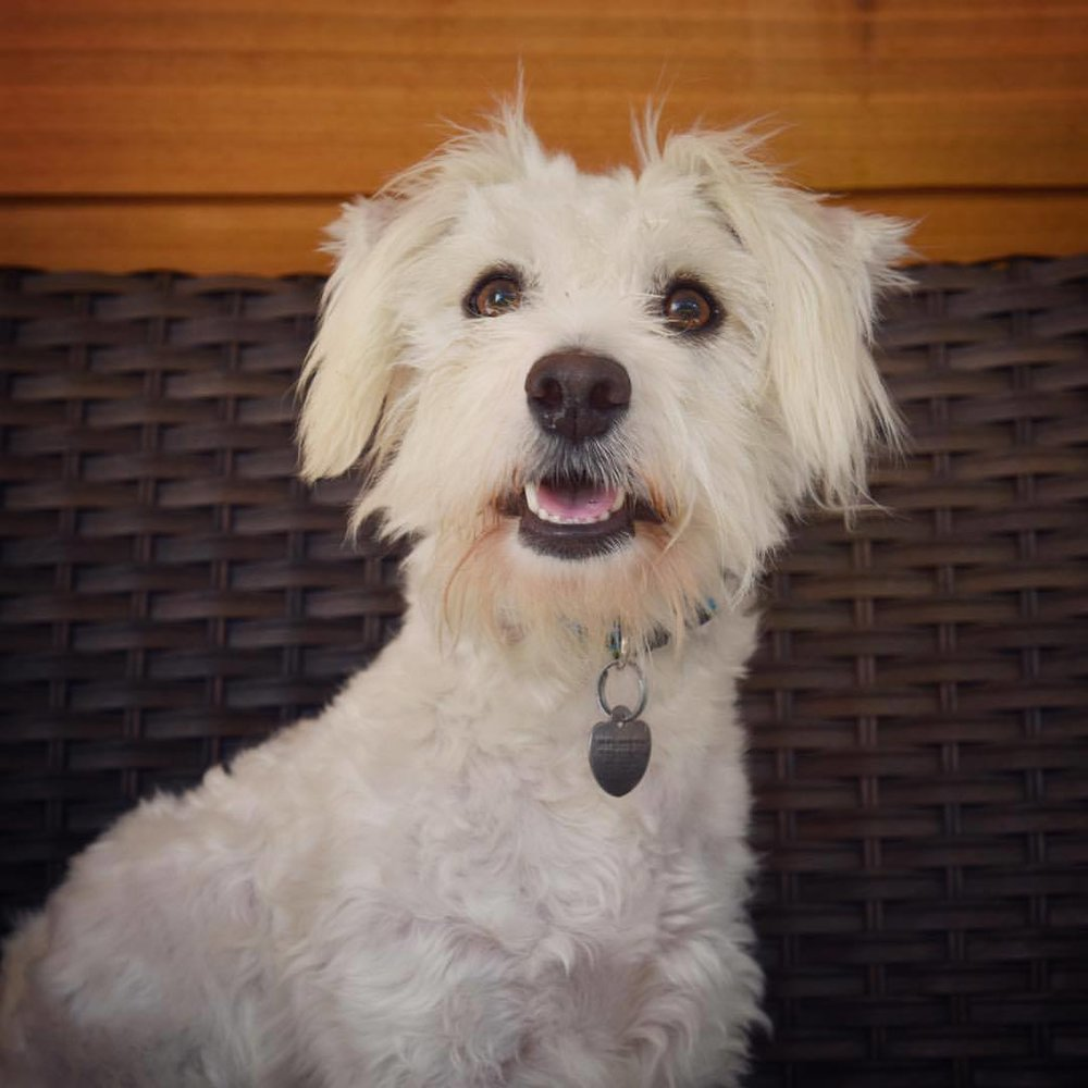 Meet Rex - Foster home or forever family needed!Rex was horribly matted and his skin was literally black from flea dirt when we got him. He had to get a bad hairdo but when his hair grows out he will be a supermodel.At some point in his life he herniated a disk in his spine. This must have been incredibly painful for him. But Rex is a fighter and he literally learned to walk again. He has a funny gait now and his back feet knuckle but he does not know it. He runs and walks and is very active!He is about 2 1/2 years old- 13 pounds- Great with other dogs -big and small- loves to play and great with kids. He has really fought hard to be where he is today and we are hoping a special family will fall in love..