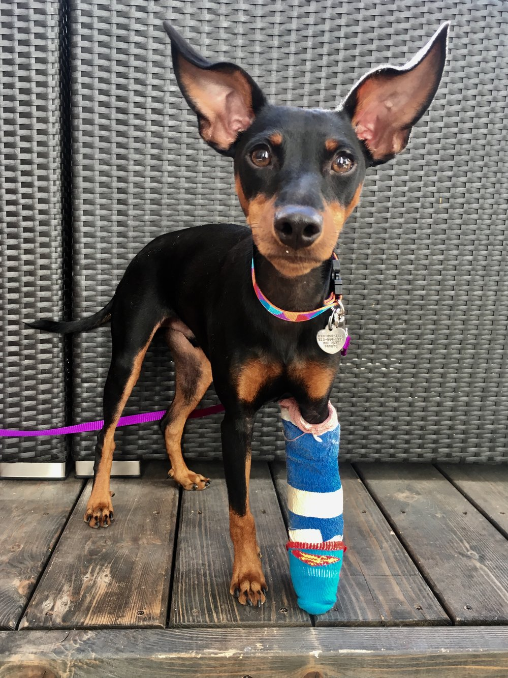 Meet Winston - This sweetie is 6 months old. He is a Manchester Terrier or Min Pin mix. Winston weighs 16 pounds and is great with other dogs. He loves kids and loves to play. He is incredibly smart. Great for an active family with a lot of love to give. Winston is still being potty trained and will be neutered soon. His little leg is healing from a break but doesn't slow him down one bit!