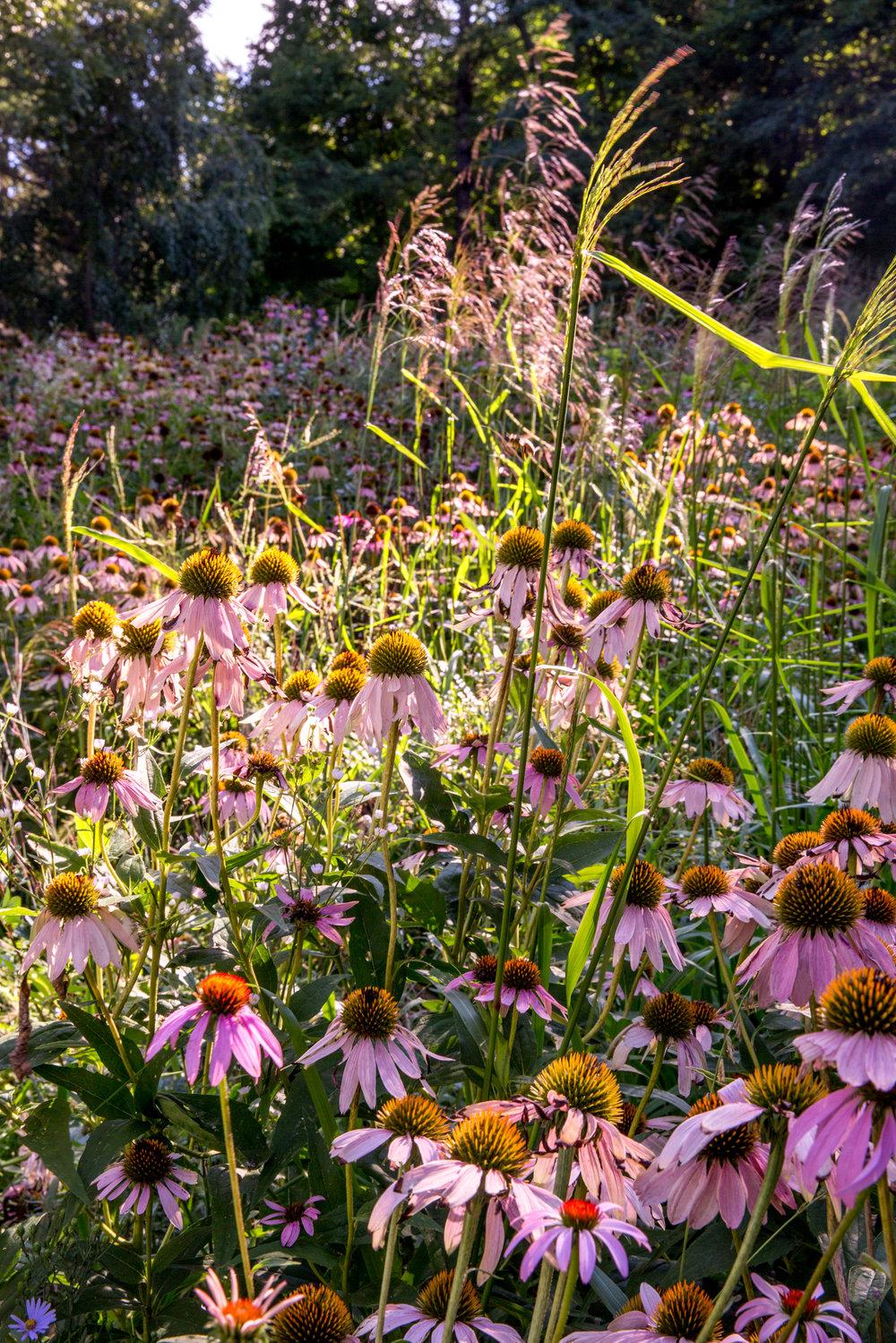 Jedlicka-Native-Garden-12-WB-6178497.jpg