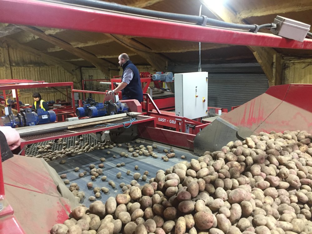Large sorting belts ready the spuds for bagging.