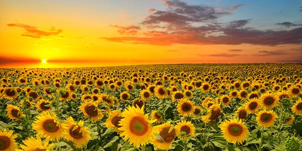 Sunflower-Field-CS-112.jpg