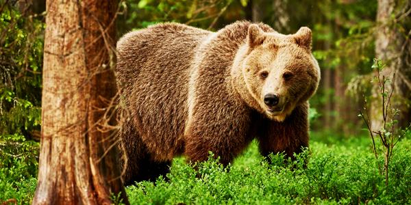 Brown-Bear-CS-185.jpg
