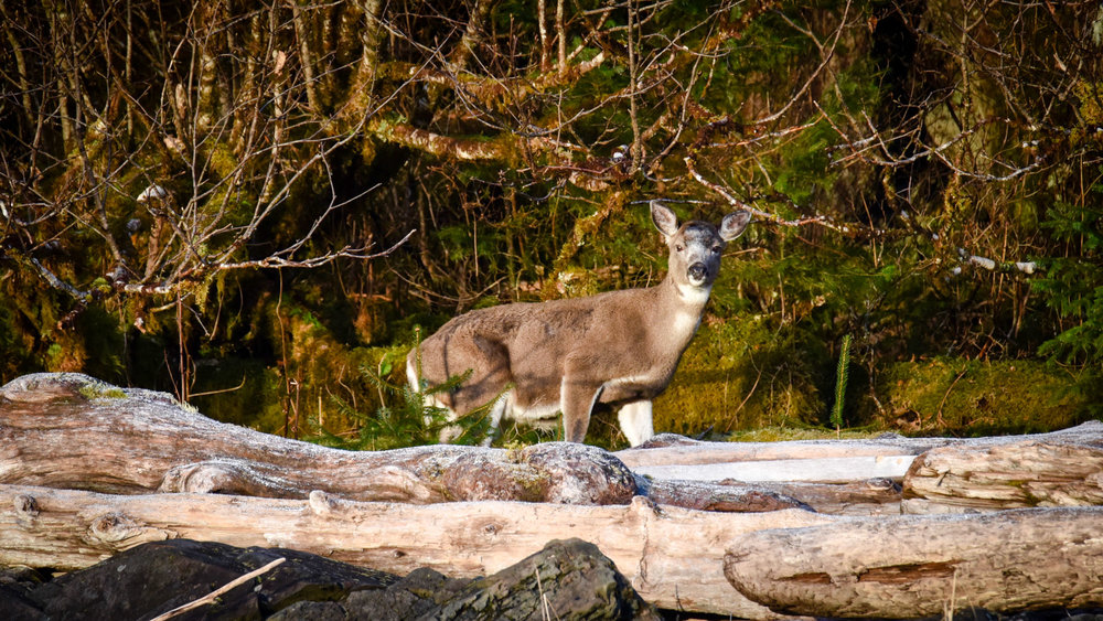 Sitka Black-tailed Deer in Beach Fringe (Photo Archipelagan)