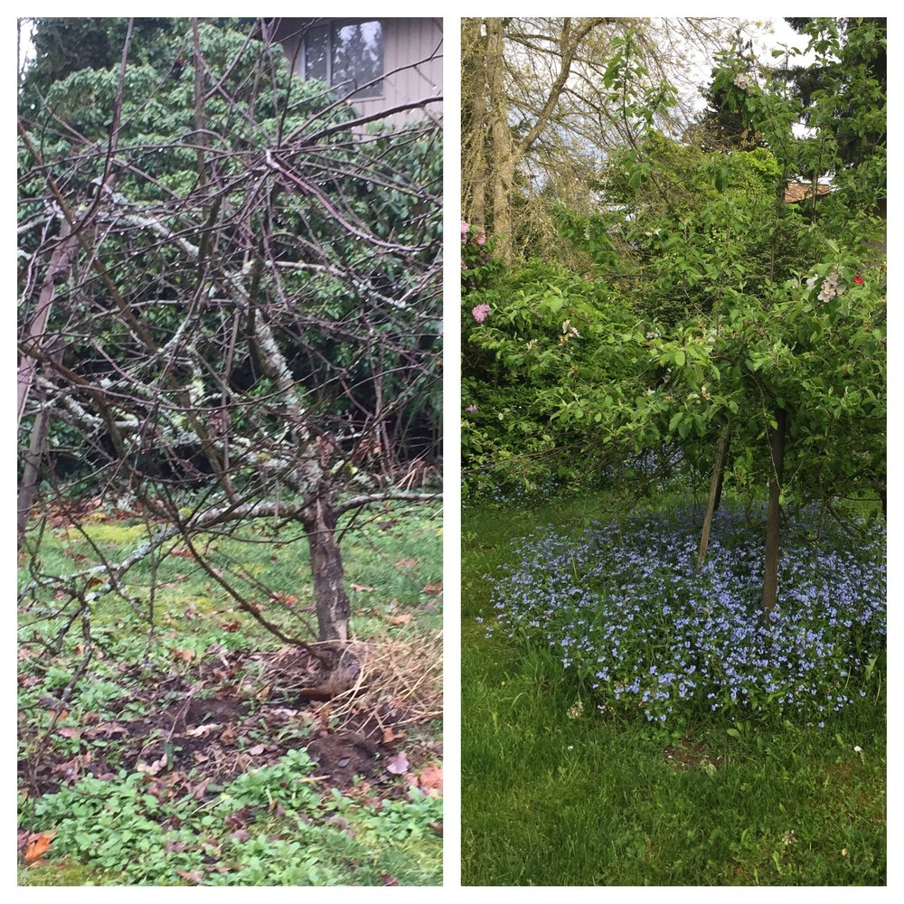 Winter snaggle-puss apple tree, and the same transforming one on the right--from death to life in two seasons!