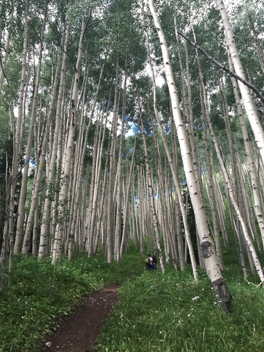 A stand of aspen trees and a hiking path.