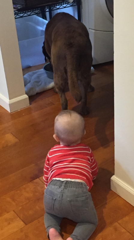 Toddler crawling after a brown lab.