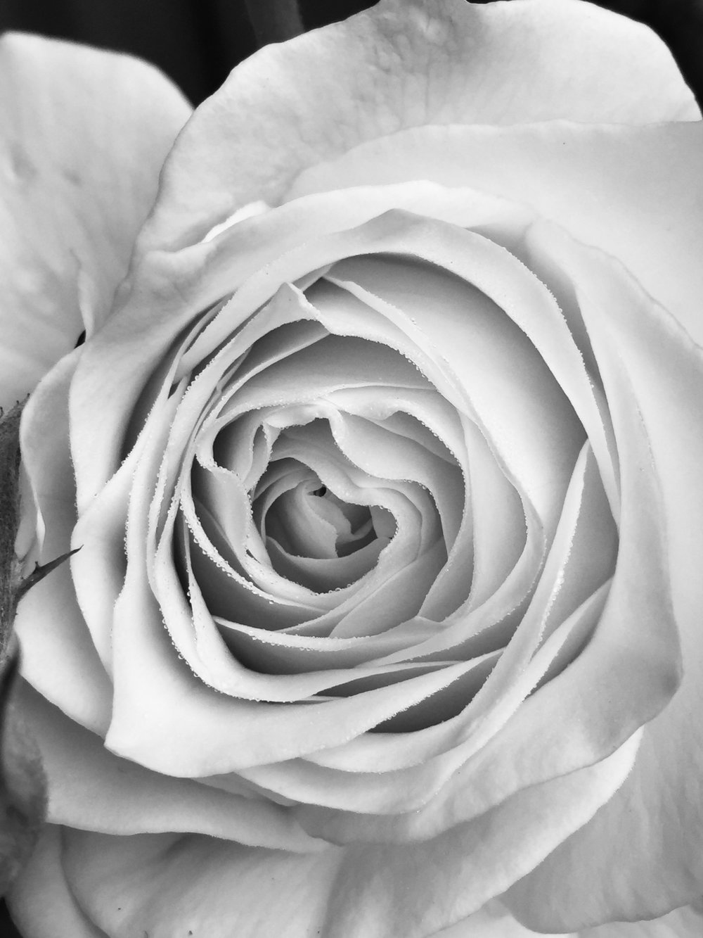 Black and white of a rose up close