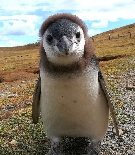 Sweet Patagonian penguin. Left out of another meeting, happy as can be.