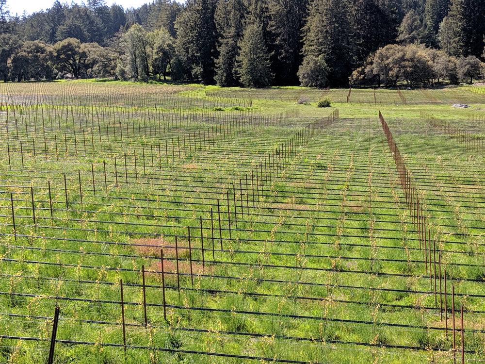 Coleman Valley vineyard.jpg