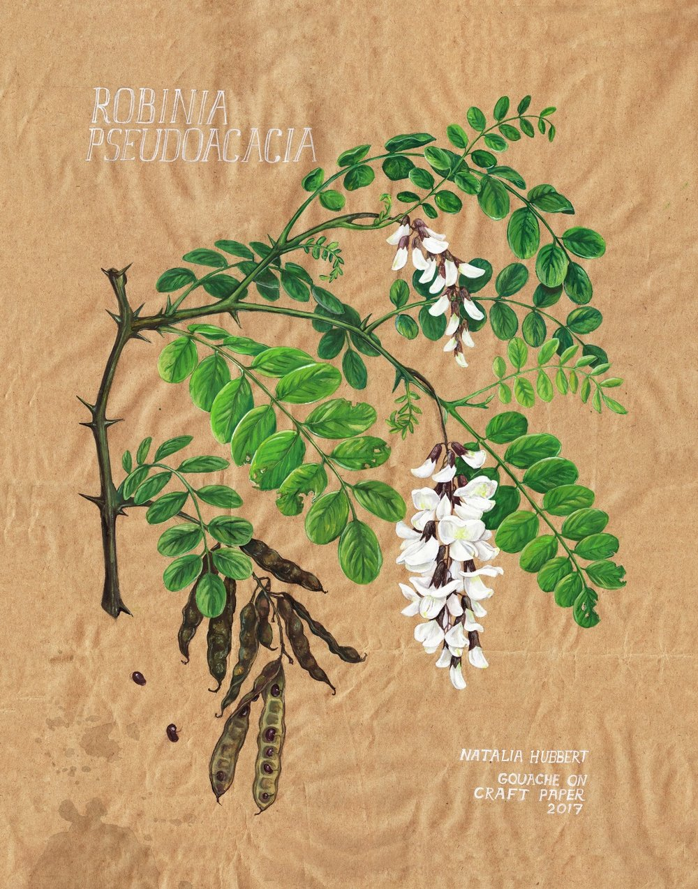 Botanical_Robinia_NH.jpg