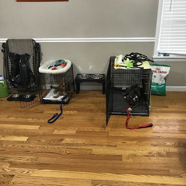 We got two very smart pups here working on their crate obedience. Remember guys everything that we do in a board and train is connected. Every single thing matters. Feeding, walking, crate training, command training...EVERYTHING. A well rounded dog is an obedient dog.  #dogtraing #maldenma #bostondogtraining