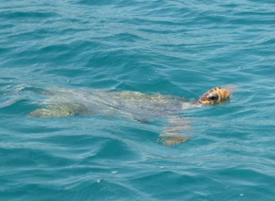 Caretta-caretta-Turtle.jpg