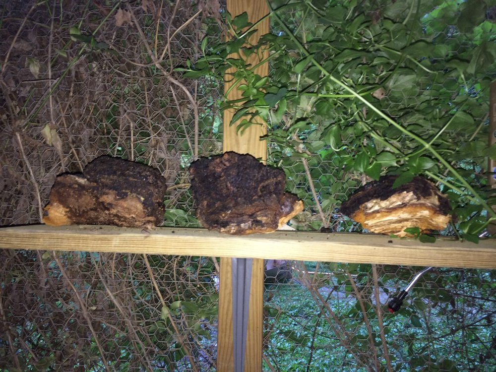 Dr. Mullaly harvests and dries the Chaga