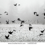 stock-photo-a-flock-of-crows-flying-above-the-frozen-field-548592487.jpg