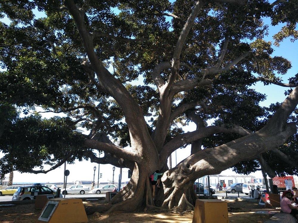 The big ficus tree