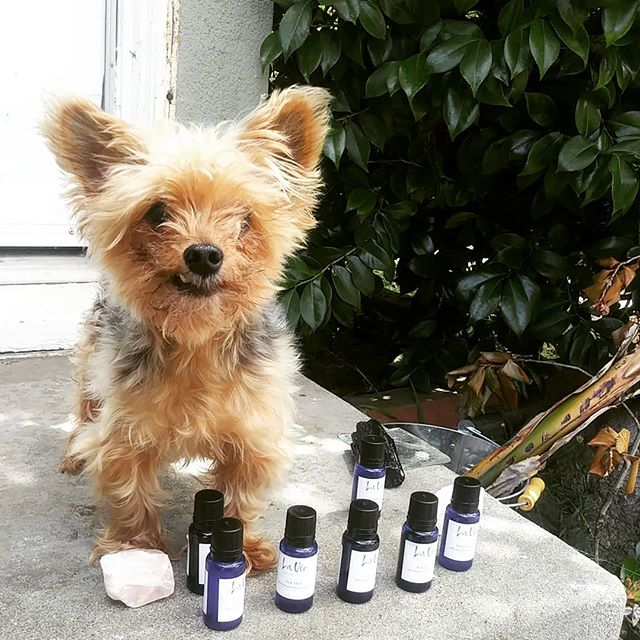Did you know that our oils are safe to use on your furry friends? Fobio is our teams mascot & helper for our FIRST La Vie TEAM meeting today!! Can't wait to share what we have in store for you all!! #happyhumpday #wednesday #teammeeting #newbusiness