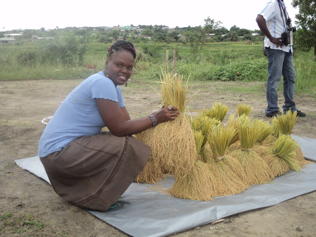 Robert's wife, Lucia, bundling rice.