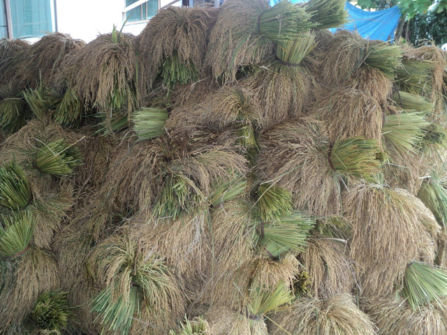 Bundles of harvested rice