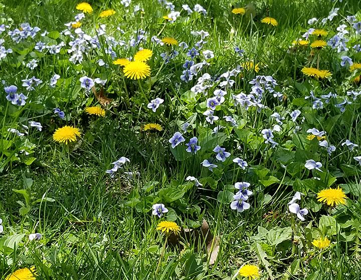 boston-school-herbal-studies-plant-walks-spring-2018.png