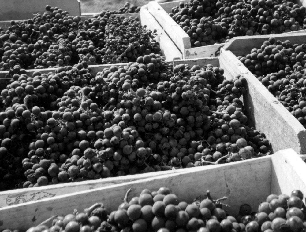 grapescroppedbw.jpg