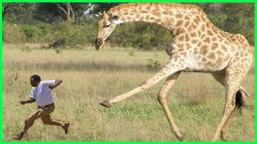 giraffe attack.jpg