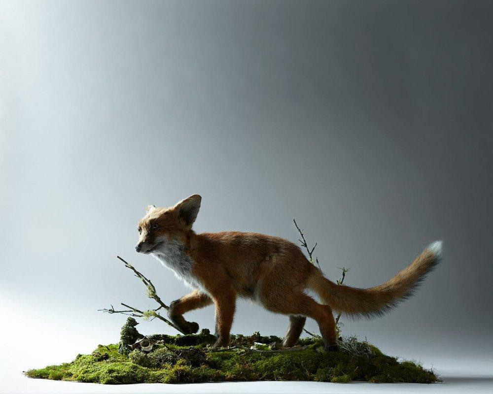 Taxidermied Fox Kit