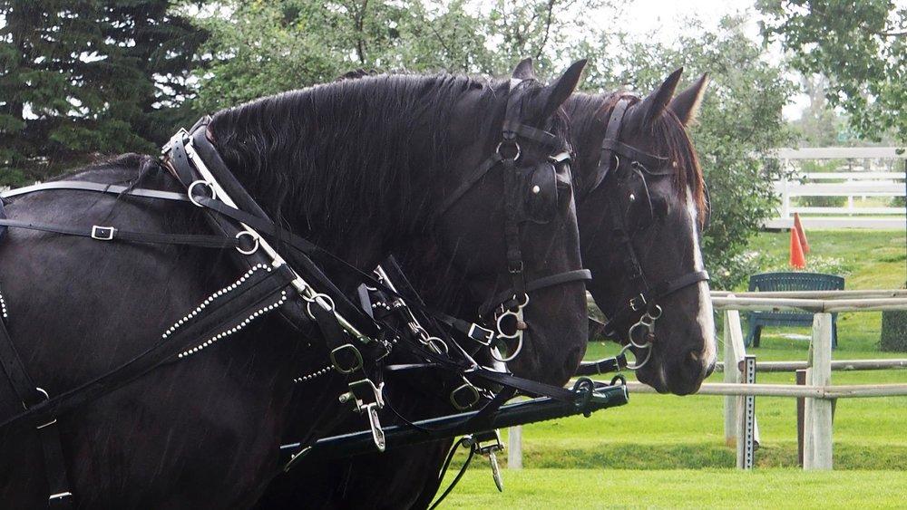 Black horses HR.jpg