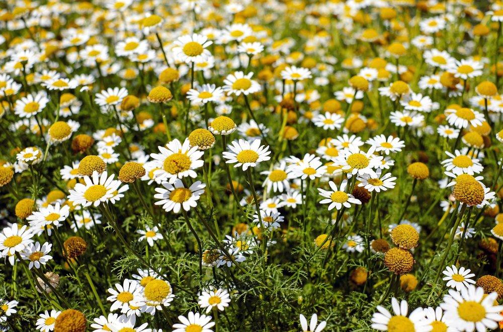 bertram-root-medicinal-herbs-flowers-bloom-159110.jpeg