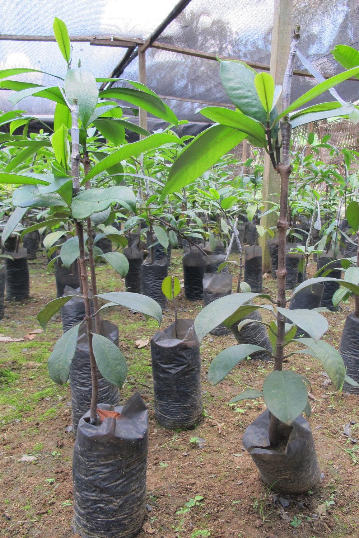 Allanblackia seedlings