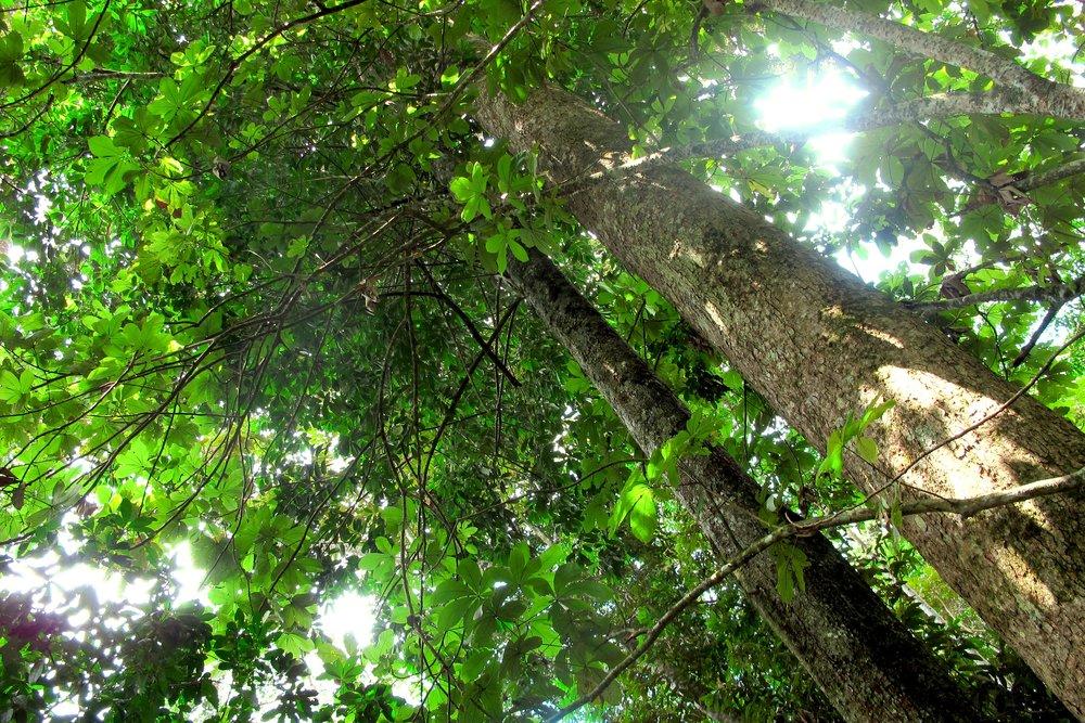 Allanblackia Tree