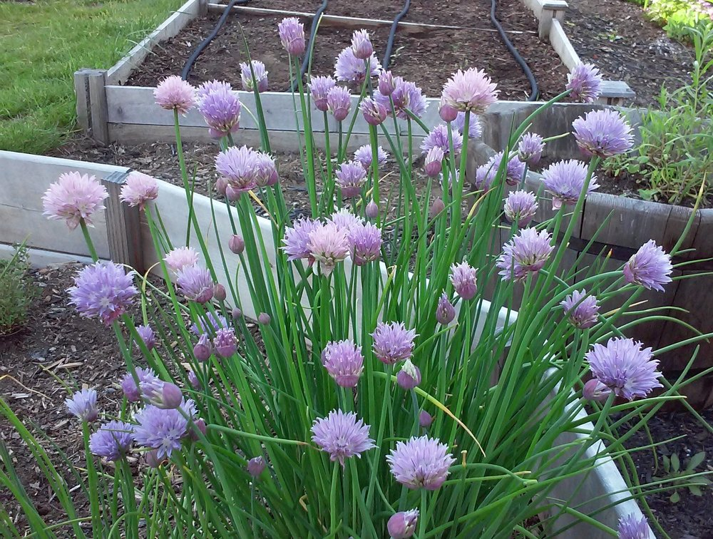 Blooming Onion (well, chives...)