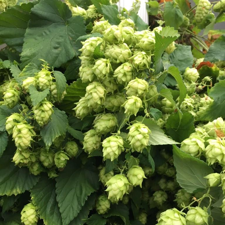 Hops Closeup.JPG