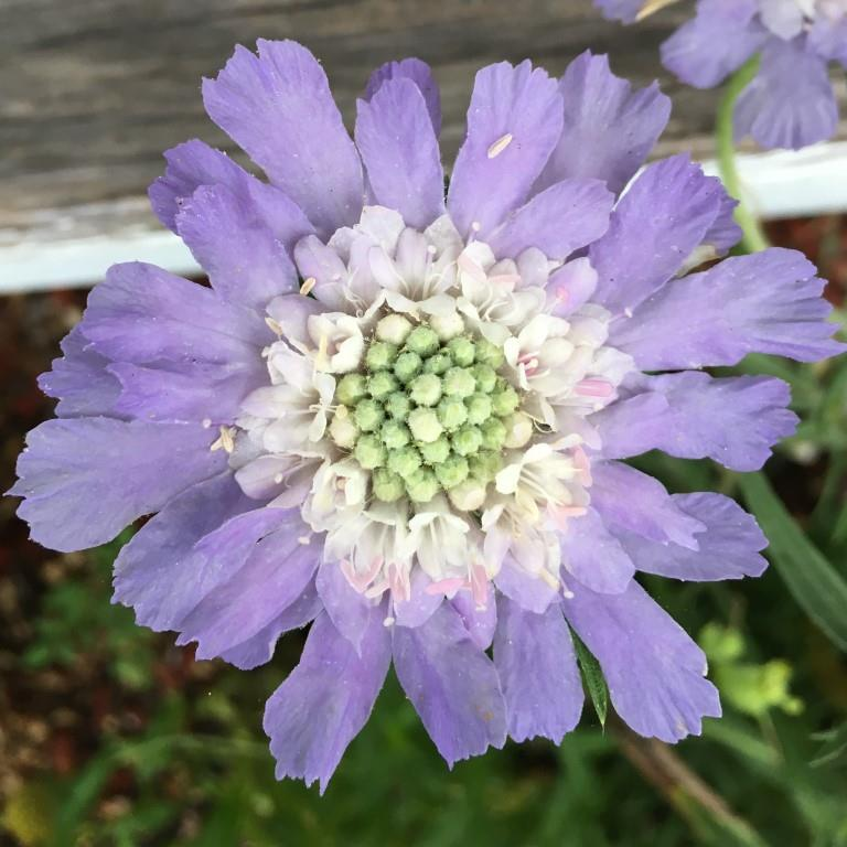 Scabiosa Lavender.JPG